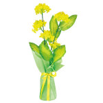 ハイポット菜の花 (12579)