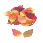 マリックス白樺落葉(50枚セット) (3023)