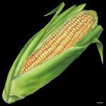 デコシール トウモロコシ サイズ:ビッグ W600×H600 (61883)