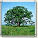 フォトパネル1 草原の大木 小サイズ 870×870mm (900-71A)