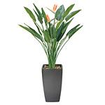 【送料無料】アートストレチア 花付 (人工観葉植物) 高さ180cm 光触媒 (116A900)