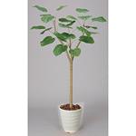 【送料無料】ウンベラータ (人工観葉植物) 高さ155cm 光触媒 (171A270)