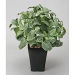 フィットニアM (人工観葉植物) 高さ47cm 光触媒 (226A80)