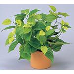 ライムポトス (人工観葉植物) 高さ36cm 光触媒 (247B50)