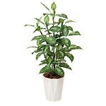 【送料無料】ディフェンバキア (人工観葉植物) 高さ110cm 光触媒 (426A175)