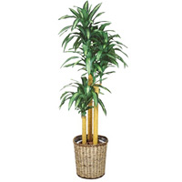 幸福の木 (鉢付) (50501***)