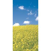 タペストリーNEW菜の花