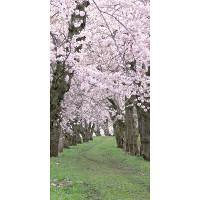 タペストリー桜新緑
