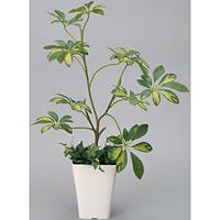 シェフレラ (人工観葉植物) 高さ68cm 光触媒 (212A80)