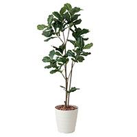 【送料無料】カシワバゴム (人工観葉植物) 高さ180cm 光触媒 (422A280)