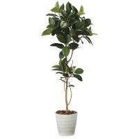 【送料無料】【2020年新商品】ゴムの木1.8 (人工観葉植物) 高さ180cm 光触媒機能付 (2024A350)