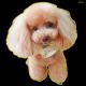 デコシール 犬 プードル (写真) サイズ:ビッグ W600×H600 (61924)